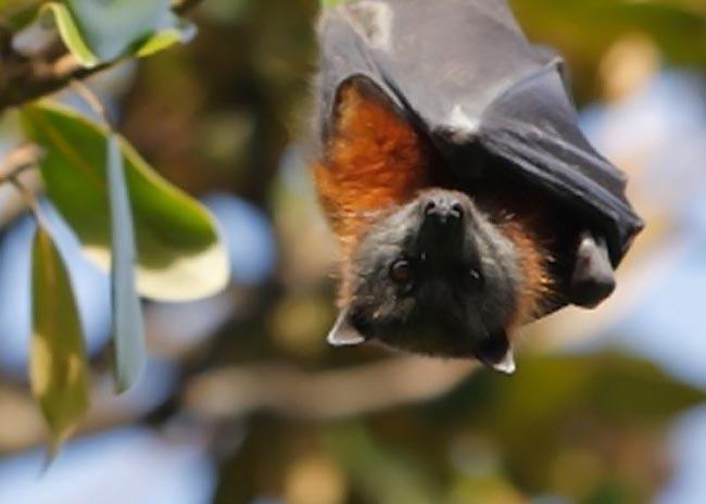 Παγκόσμιος συναγερμός για τον ιό της νυχτερίδας! thumbnail
