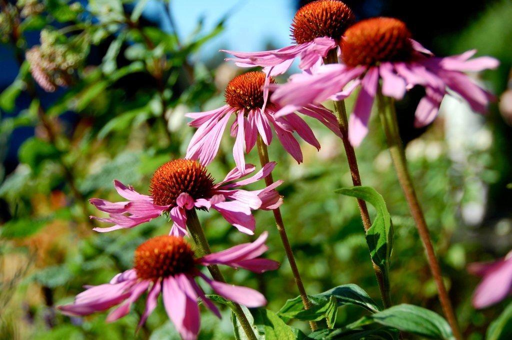 Εχινάκια. Το βότανο που κάνει θαύματα! thumbnail