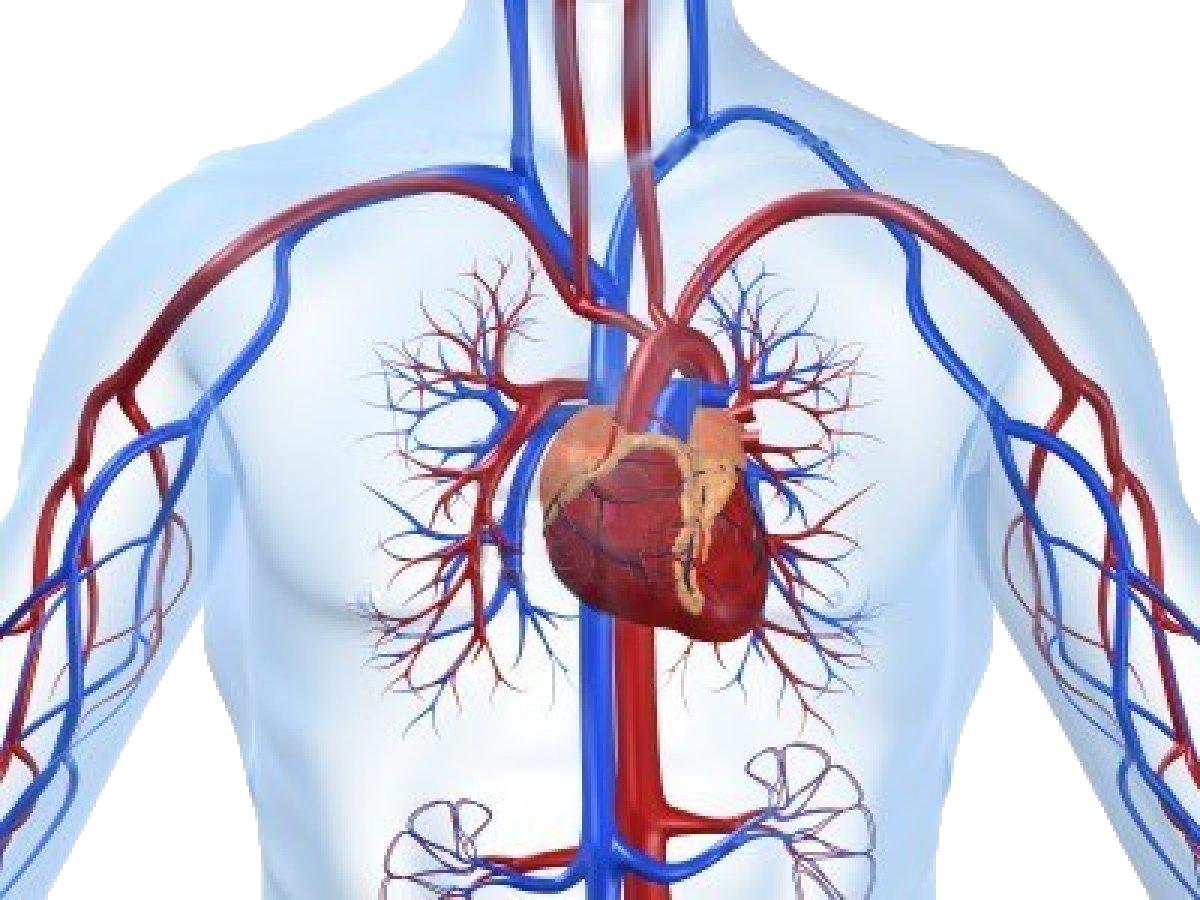 Γιατί αναπτύσσεται η καρδιά αριστερά και το ήπαρ δεξιά; thumbnail