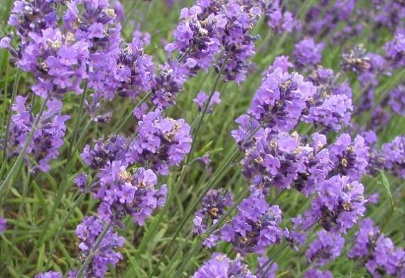 7 φυτά με θεραπευτικές ιδιότητες thumbnail