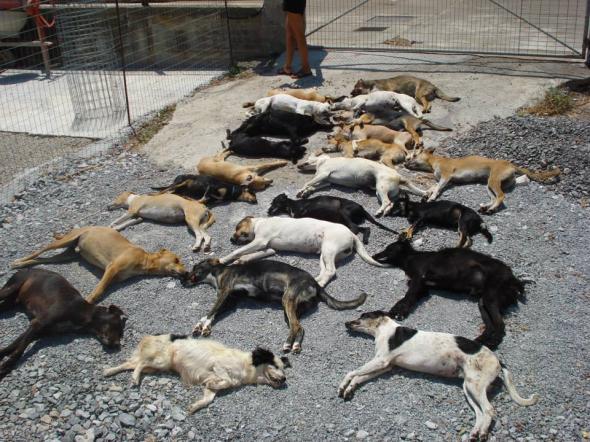 Δηλητηρίασαν 23 σκυλιά σε οικόπεδο φιλοζωικής  thumbnail